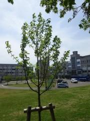 新緑の葉が繁るコブシの木